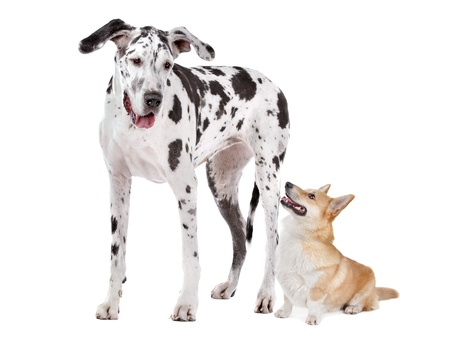 mastiff: Harlequin Great Dane and aPembroke Welsh Corgi dog in front of a white background