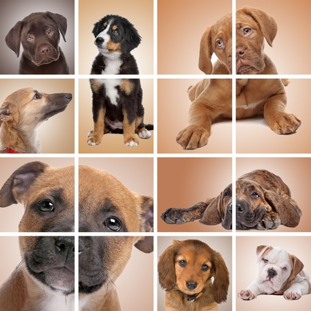 collage of puppy dogs. Labrador,bernese mountain dog,dog de Bordeaux,whippet,dachshound,english bulldog,Fila Brasileiro,American stafford