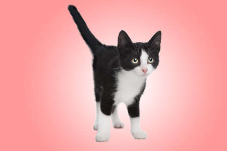 black and white kitten in front of a pink background photo