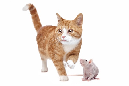 A red Kitten and a rat in front of a white background Stock Photo