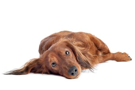 Dachshund lying on ground in front of a white background photo