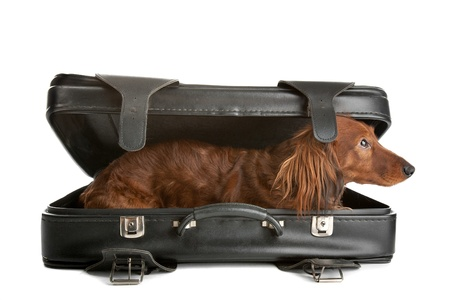 misbehaving: A delightful view of a small, naughty Dachshund dog playfully peering out from inside a black suitcase. Stock Photo