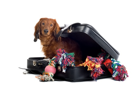 pleasing: A delightful view of a small, naughty Dachshund dog playfully peering out from inside a black suitcase. Stock Photo