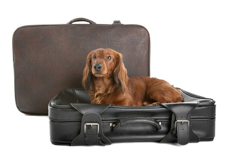 misbehave: A delightful view of a small, naughty Dachshund dog on a black suitcase.
