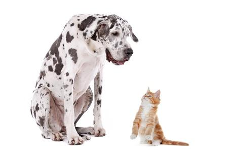 harlekijn: Een hond en een kat in de voorkant van een witte achtergrond Stockfoto