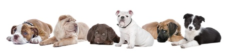 large group of puppies on a white background.from left to right,Bulldog,shar-pei,chocolate Labrador,English Bulldog,great dane,border,collie photo