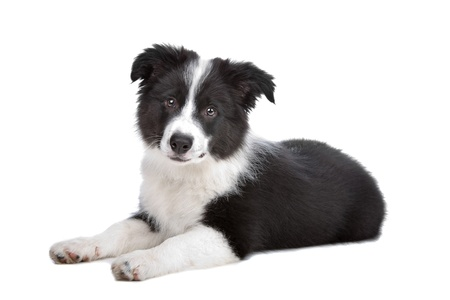 collie: Border Collie puppy in front of a white background