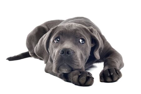 cane corso: Cane corso puppy in front of a white background