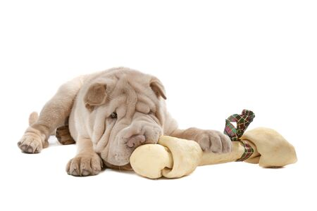 sharpei: Shar-pei puppy in front of a white background eating a bone