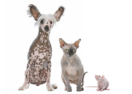 Naked cat,dog and rat in front of a white background photo