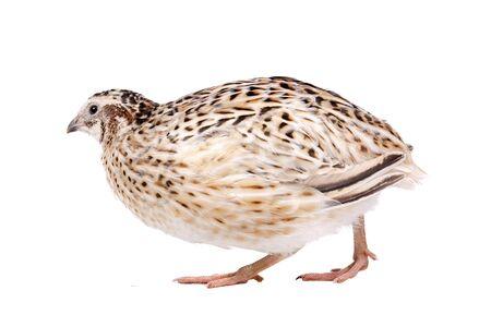 Little quail in front of a white background