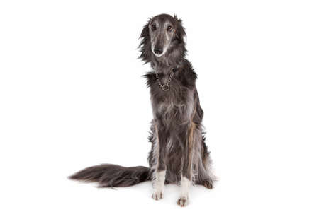 silken: Silken windhound in front of a white background