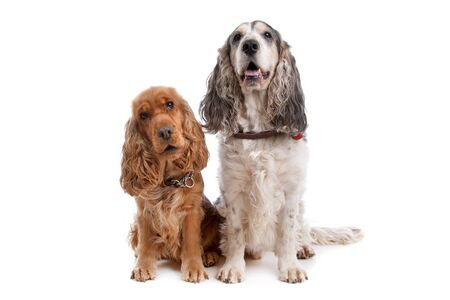 Two English Cocker Spaniel dogs in front of a white background photo