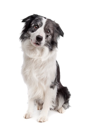 sheepdog: Border Collie sheepdog in front of a white background