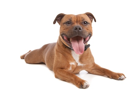 terrier: Staffordshire bull terrier