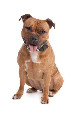 Staffordshire bull terrier Imagens - 11003683