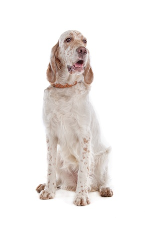 English Setter in front of a white background photo