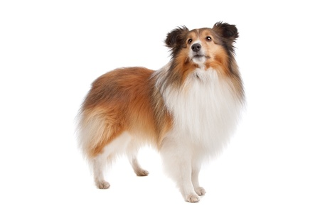 sheepdog: Shetland sheepdog in front of a white background