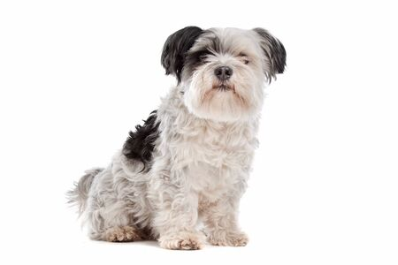 shih: shih tzu in front of a white background