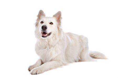 white shepherd dog: White Dog Pastore di fronte a uno sfondo bianco
