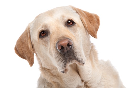 Yellow Labrador in front of a white background