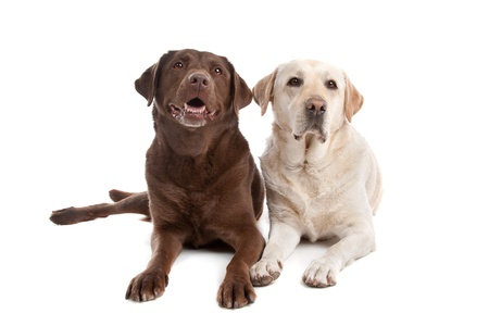 Yellow and chocolate Labrador in front of a white background