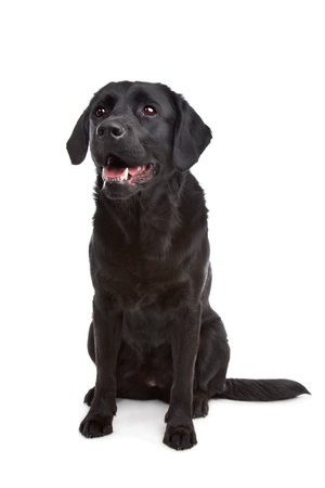 cross breed dog of a Labrador and a Flat-Coated Retriever in front of a white background Stock Photo - 11003455