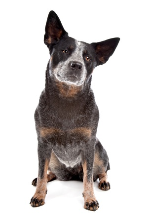 domestic cattle: Australian Cattle Dog in front of a white background Stock Photo