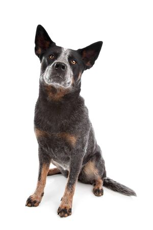 red heeler: Australian Cattle Dog in front of a white background Stock Photo