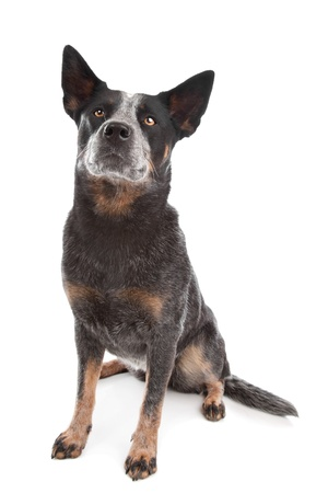 Australian Cattle Dog in front of a white background Stock Photo