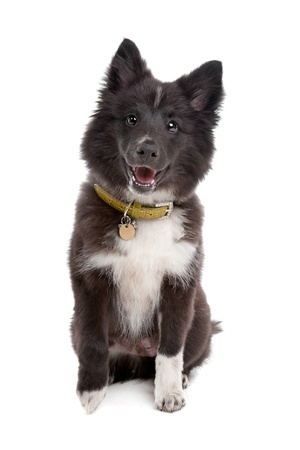 half breed: mixed breed puppy, half sheltie, in front of a white background