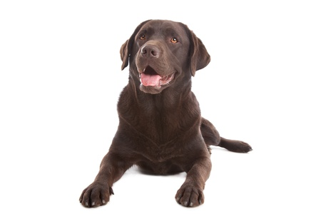 Chocolate Labrador in front of a white background Imagens - 11002016