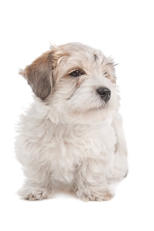 doggie: mix Maltese Puppy dog in front of a white background