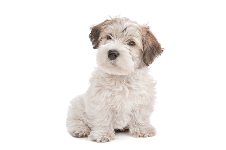 white maltese: mix Maltese Puppy dog in front of a white background