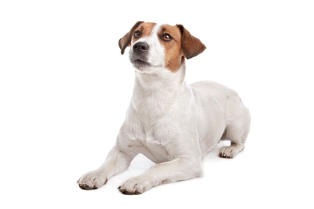 jack russell terrier: Jack Russel Terrier in front of a white background Stock Photo