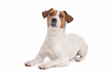 pure bred: Jack Russel Terrier in front of a white background Stock Photo