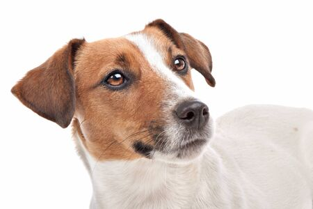 jack russell: Jack Russel Terrier in front of a white background Stock Photo