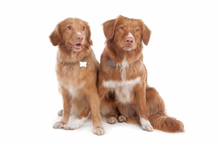 two Nova Scotia Duck Tolling Retriever dogs in front of a white background photo