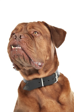 molosse: Dogue de Bordeaux in front of a white background