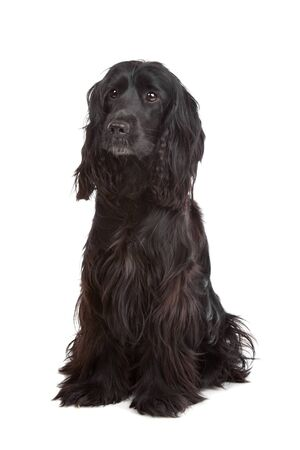English Cocker Spaniel in front of a white background photo