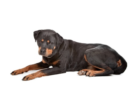 rotweiler: Rottweiler in front of a white background