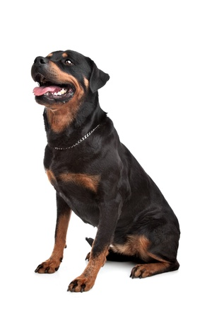 Rottweiler in front of a white background photo