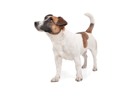 jack terrier: Jack Russel Terrier in front of a white background Stock Photo