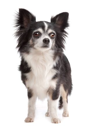 pure bred: long-haired Chihuahua in front of a white background Stock Photo