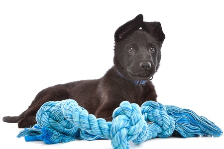 Black Shepherd puppy dog with a blue toy rope in front of a white background photo