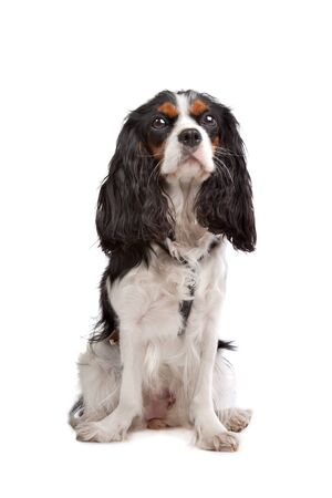 cavalier: Cavalier King Charles Spaniel in front of a white background