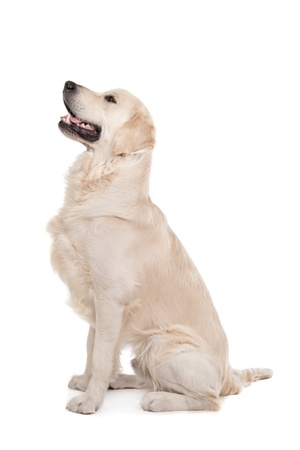 brown labrador: golden retriever in front of a white background