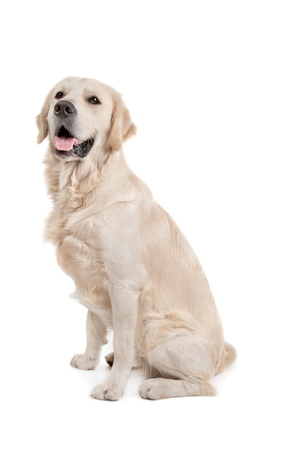 golden retriever in front of a white background photo