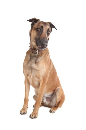 Belgian Shepherd Dog Malinois in front of a white background photo