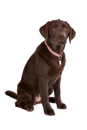 perro labrador: Chocolate Labrador delante de un fondo blanco Foto de archivo